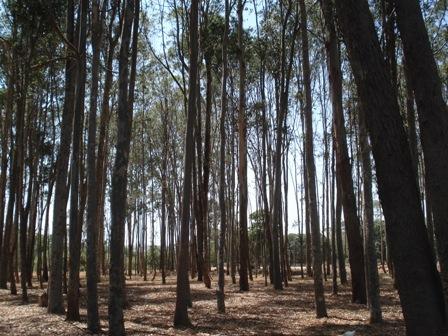 Reflorestamento exóticas